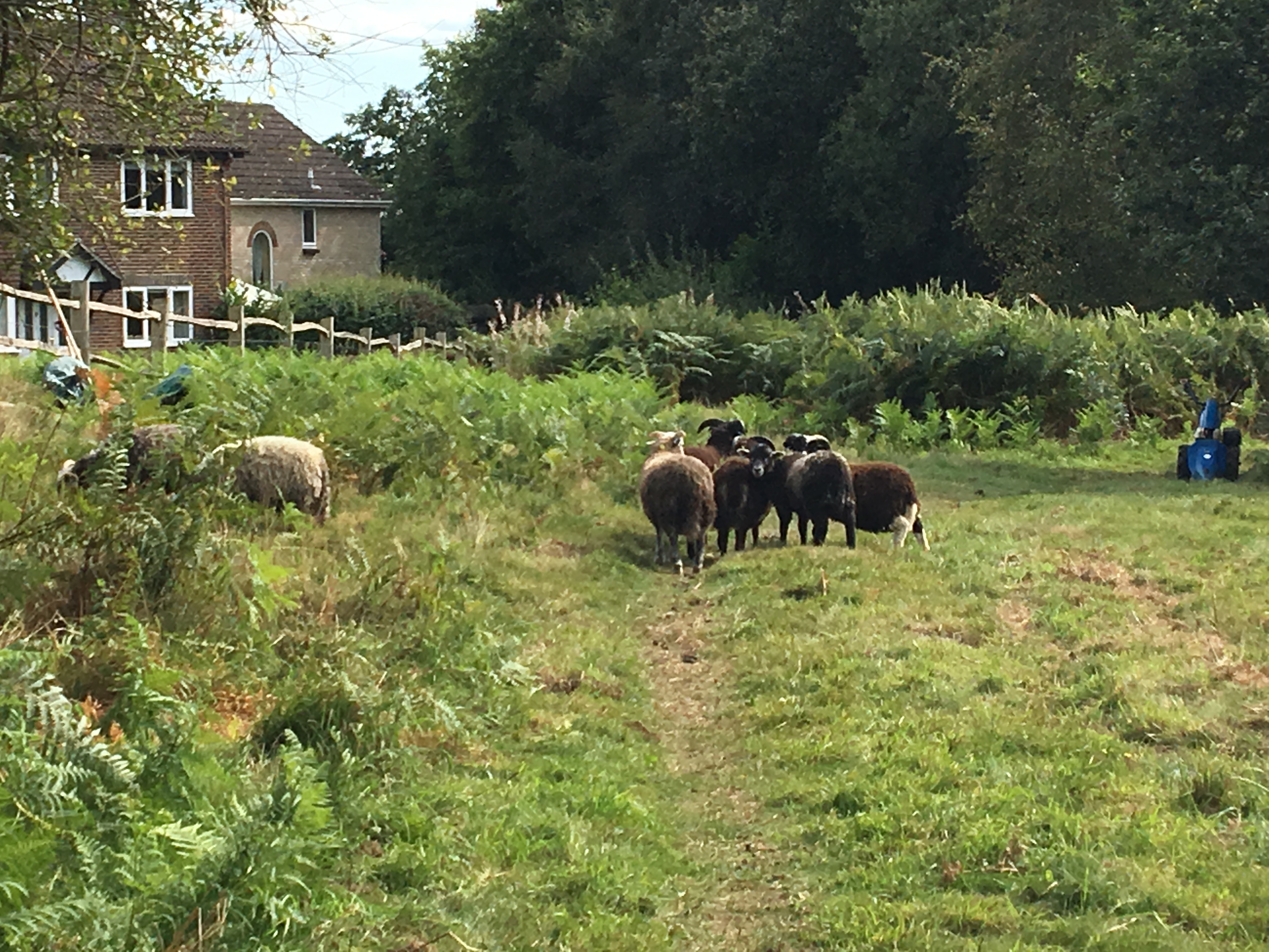 sheep grazing at West Park Nature Reserve