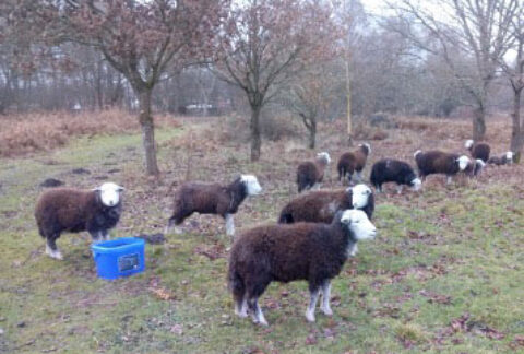 Photo of sheep on West Park Local Nature Reserve