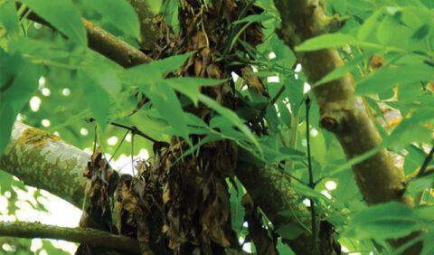 Ash tree displaying ash die back symptoms